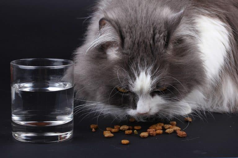 Nur Trockenfutter ist nicht gut für Katzen