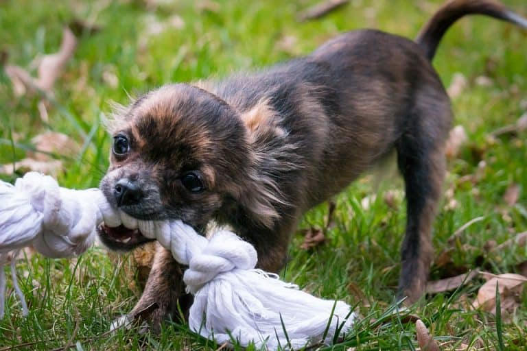 Chihuahua mit Spielzeug