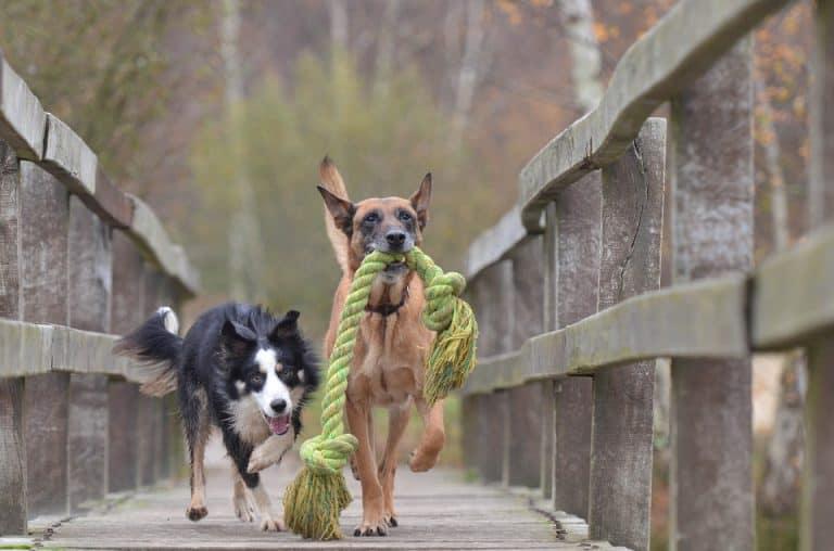 Hunde beim Speilen mit Zerrspielzeug