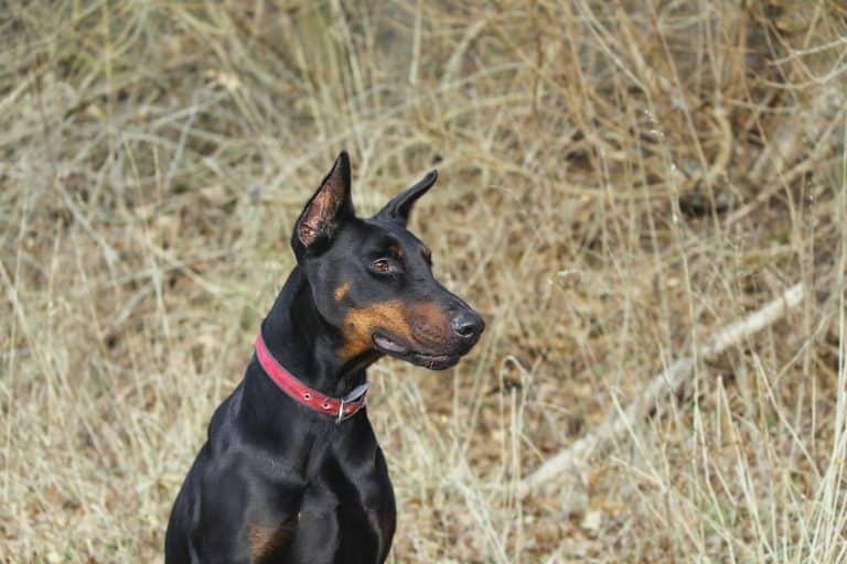 Hund mit Halsband sitzt in Feld