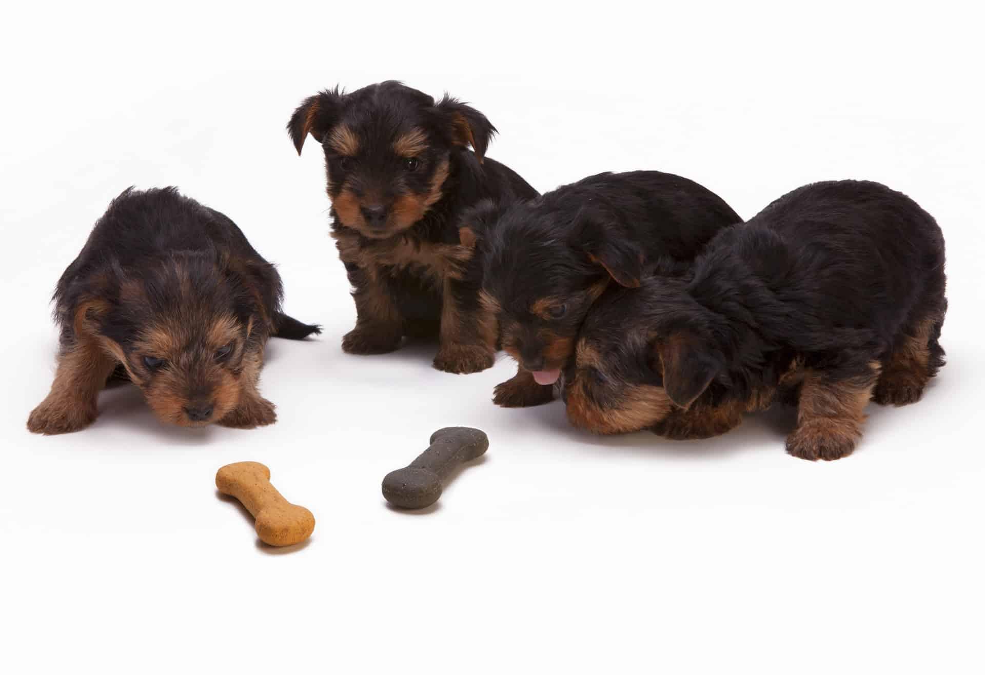 Hundewelpen mit zwei Trockenfutter-Knochen