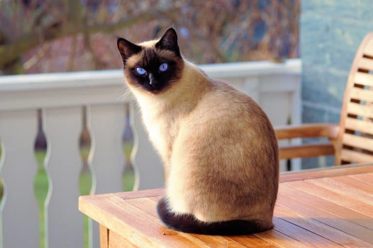 Katze sitzt auf Holztisch
