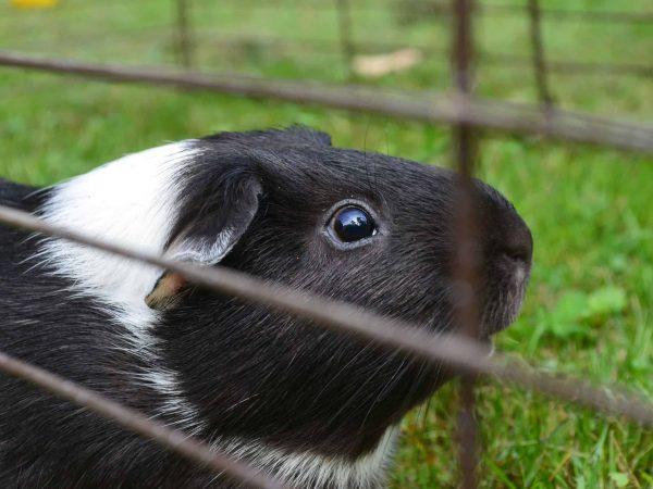 16456279 – guinea pig