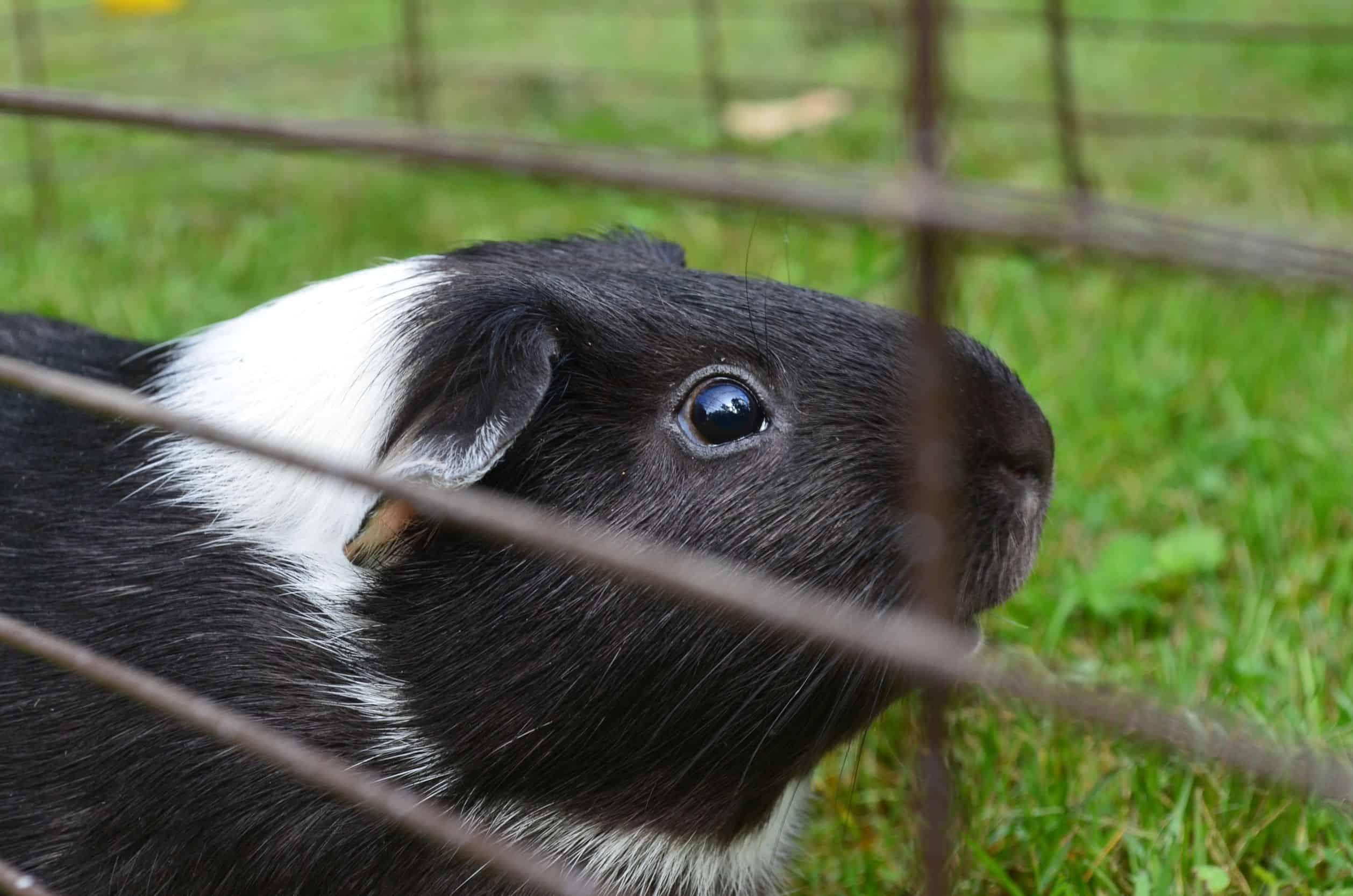 Meerschweinchen Käfig: Test & Empfehlungen (05/21)