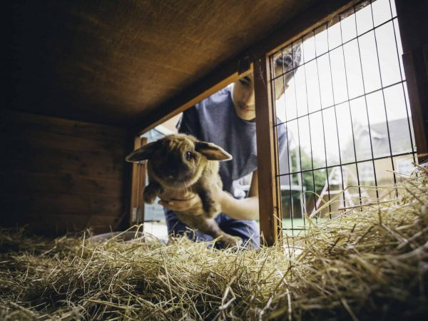 65447341 – pet rabbit being put back into its hutch by a teenage boy.