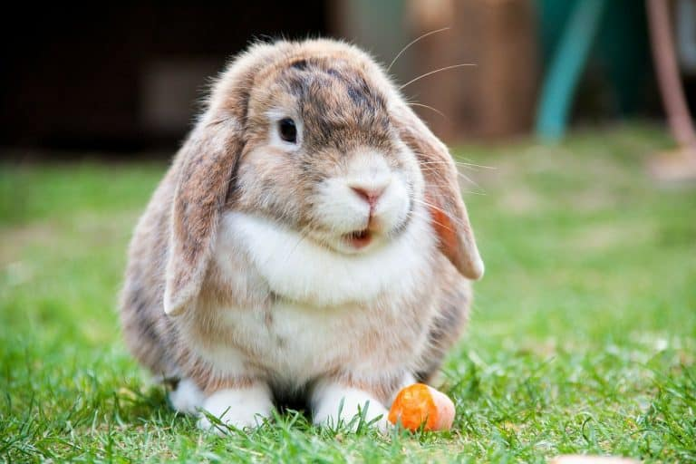 Kaninchen auf Gras mit Möhre