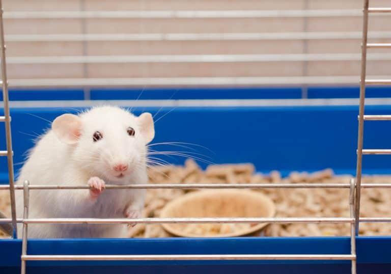 Ratte schaut aus Käfig