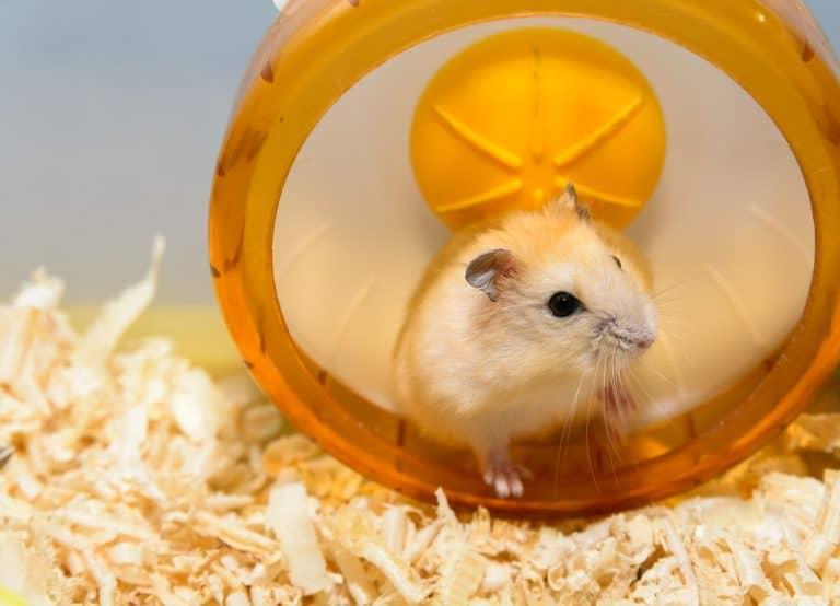 Hamster in Laufrad