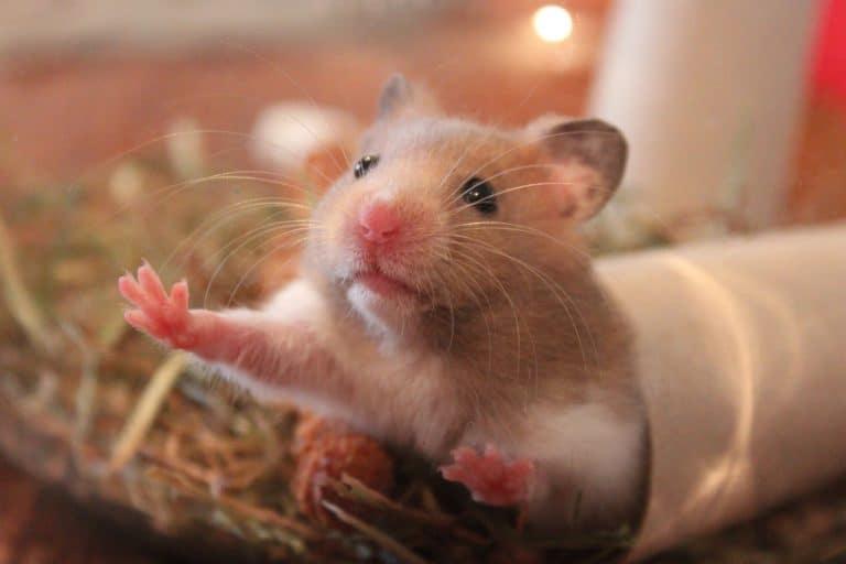Hamster guckt aus Röhre