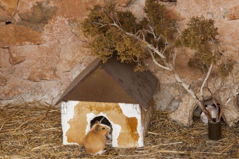 Hamster vor Häuschen