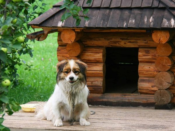 15612449 – lonely dog watching out near his doghouse