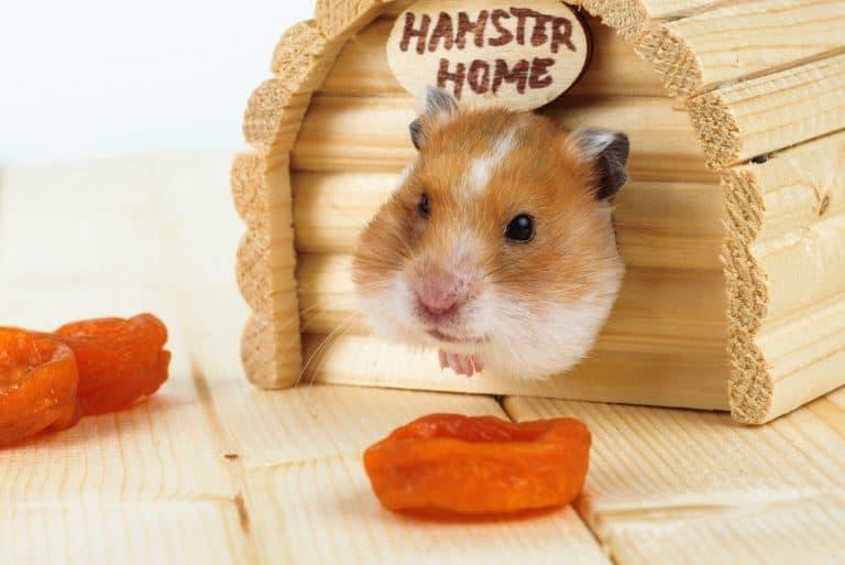 Hamster schaut aus Häuschen