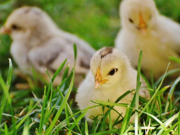 Drei Küken im Gras