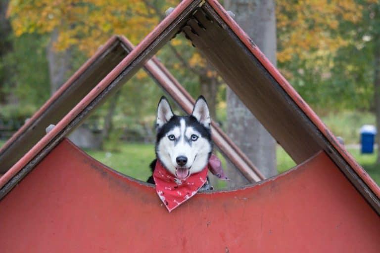 Husky schaut aus Hundehütte