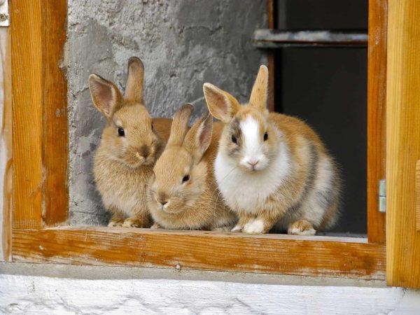 Drei Kaninchen im Fenster