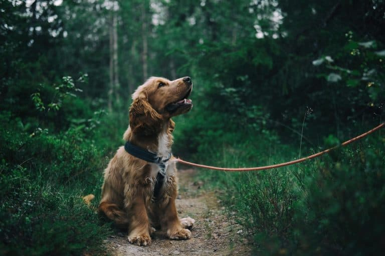 Hund novalgin