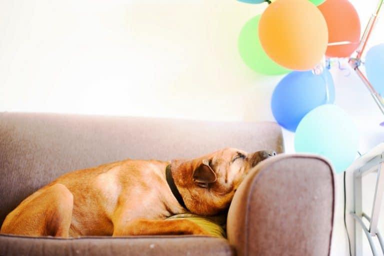 Brauner Hund auf Sofa