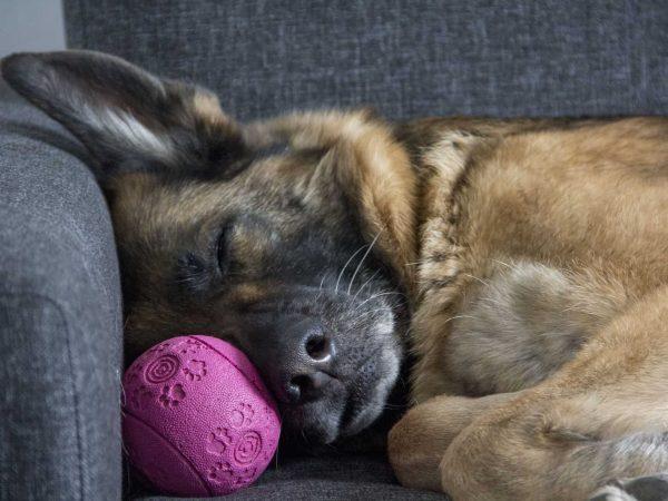 Schäferhund auf Hundecouch