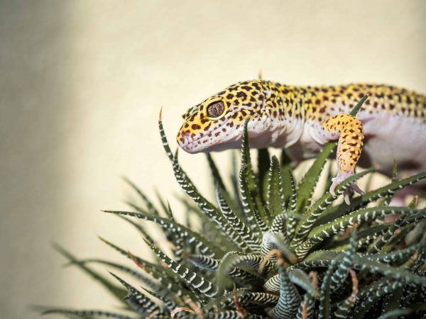 Leopardgecko Terrarium: Test & Empfehlungen (01/20)
