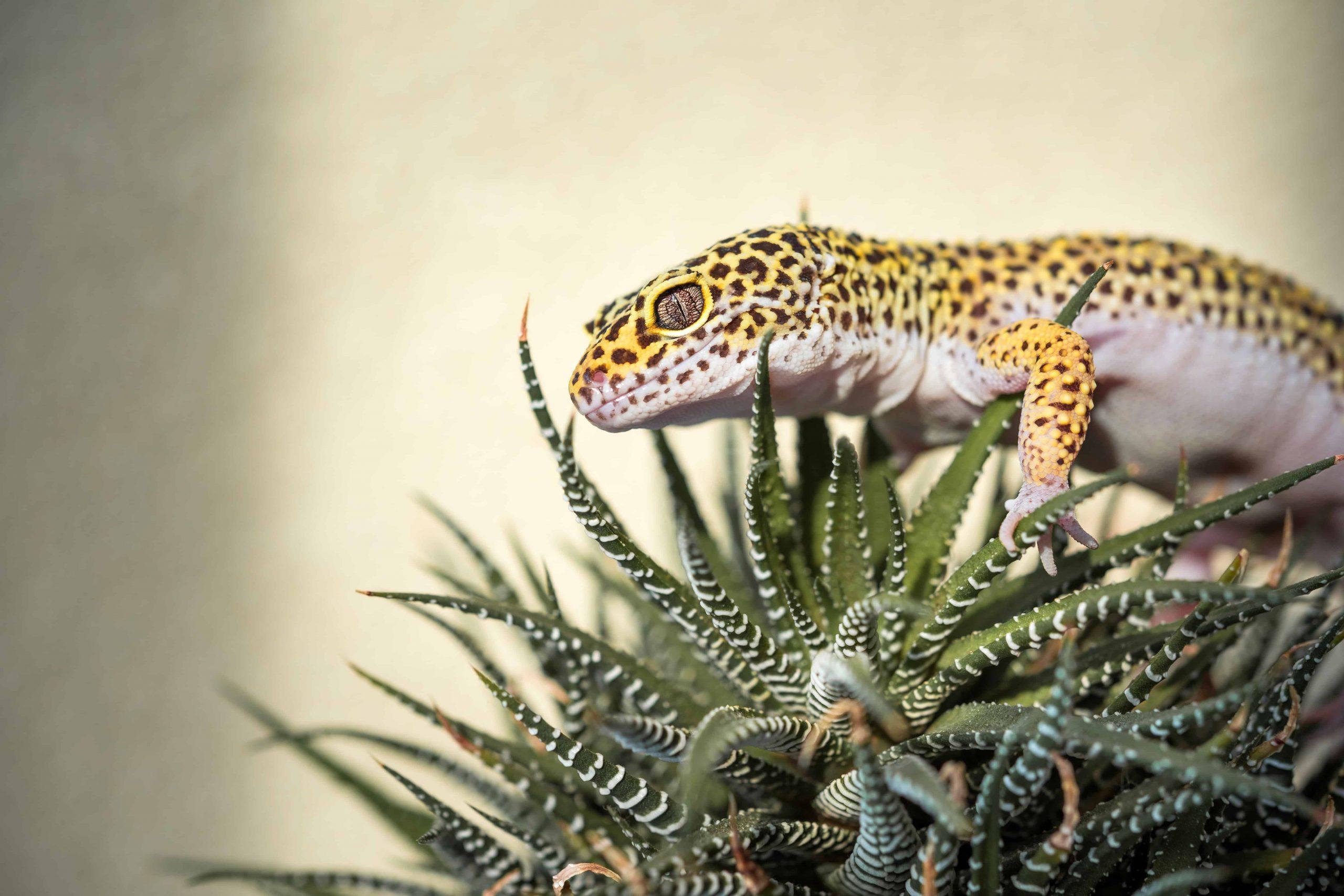 Leopardgecko Terrarium: Test & Empfehlungen (01/21)