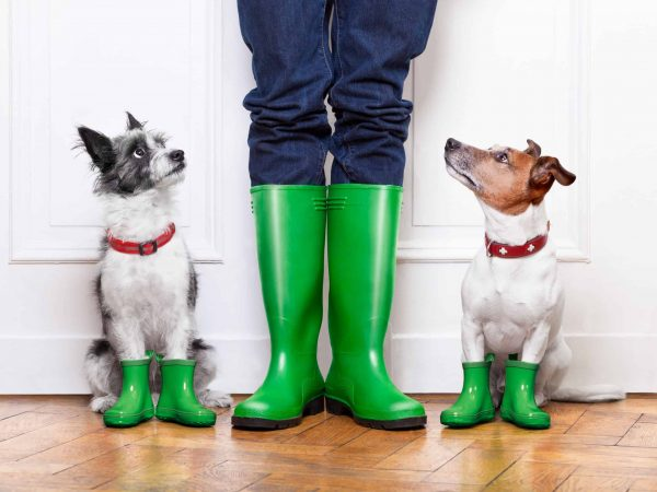 two terrier dogs waiting to go walkies in the rain at the front door at home