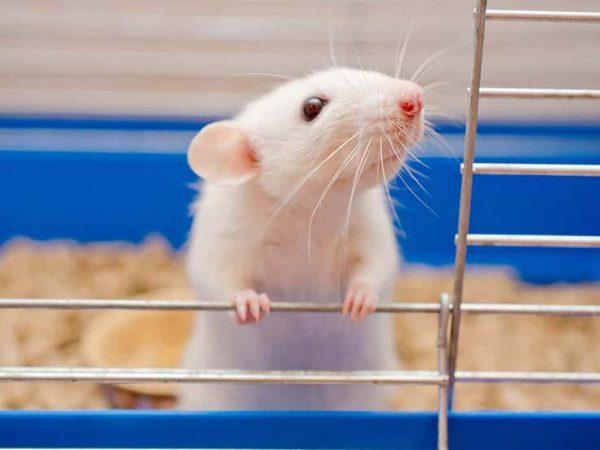 Rattenkäfig: Test & Empfehlungen (01/20)