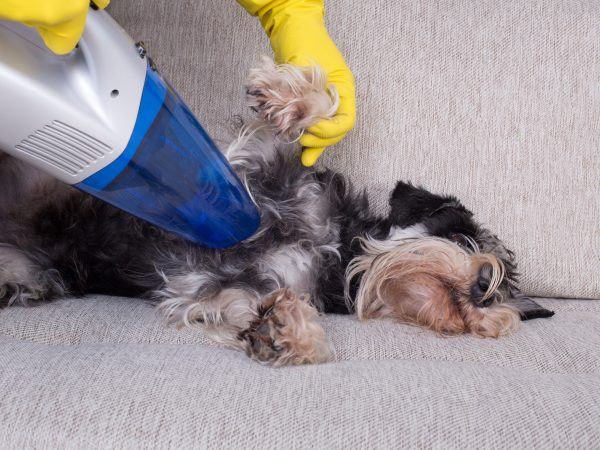 Removing dog's hair concept. Woman vacuuming fur from miniature schnauzer on sofa