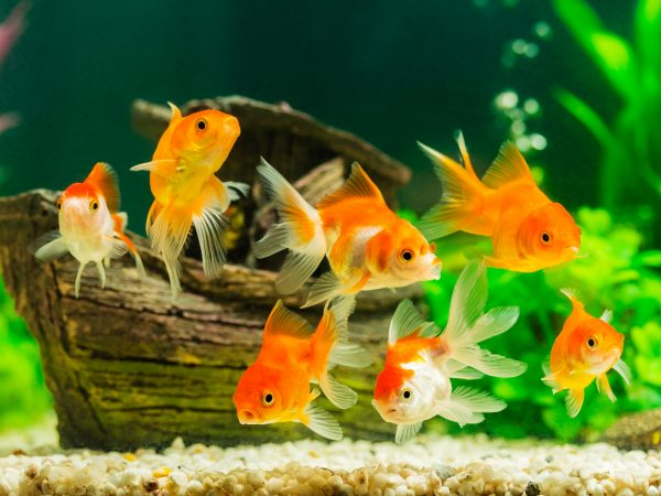 Goldfish in aquarium with green plants