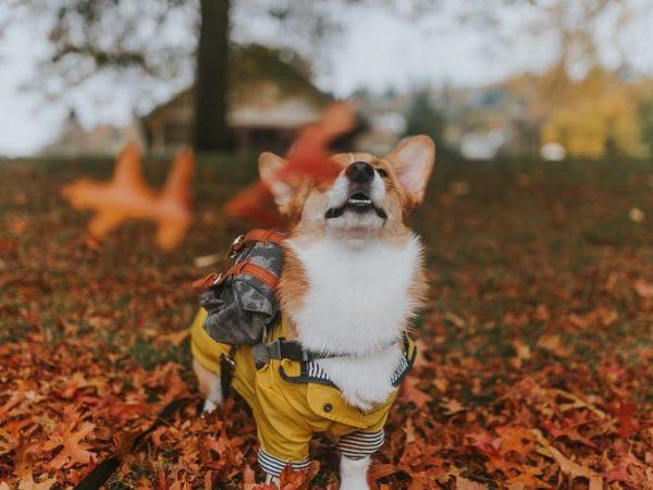 Nicht bei jeder Hunderasse ist eine Regenjacke nötig. Achte auf Verhalten und Körpersprache deines Gefährten, um herauszufinden, ob er gegen nasses Wetter empfindlich ist. (Bildquelle: unsplash.com / Cole Keister)