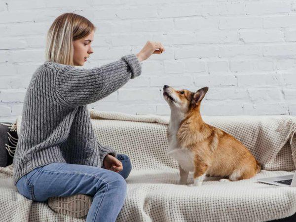 beautiful young woman training adorable pembroke welsh corgi with dog treat