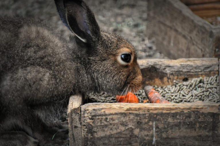 Das richtige Kaninchenfutter ist demnach entscheidend für die Gesundheit dieser Tiere.