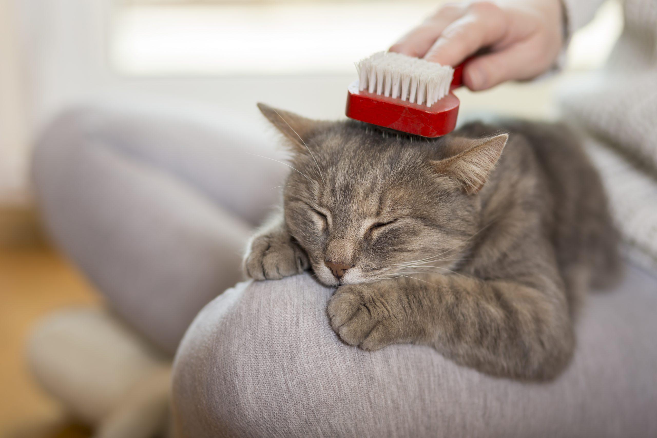 Katzenbürste