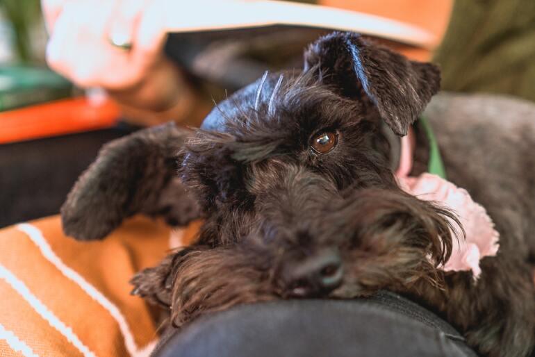 Hunde und Corona: Können sie auch betroffen sein?