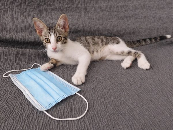 cat looking at the camera the camera on top of a surgical mask on a gray background