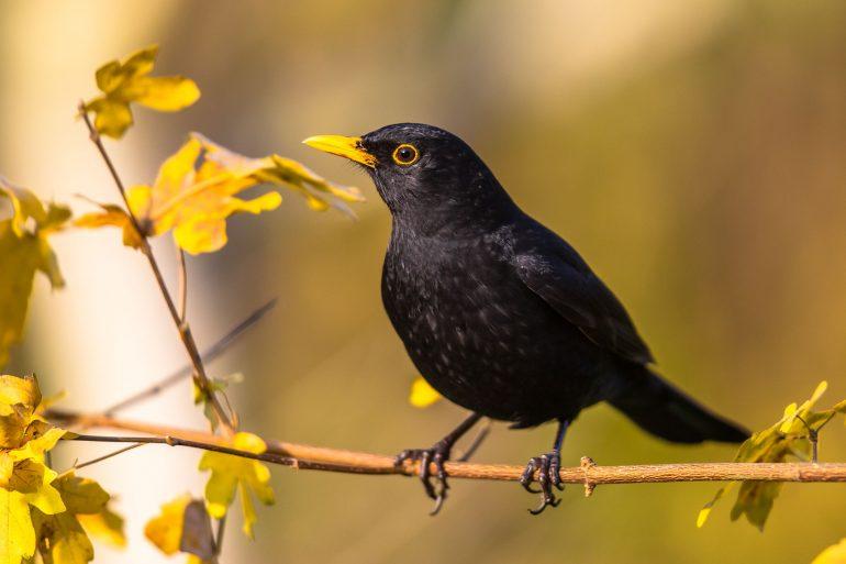 The bird blackbird