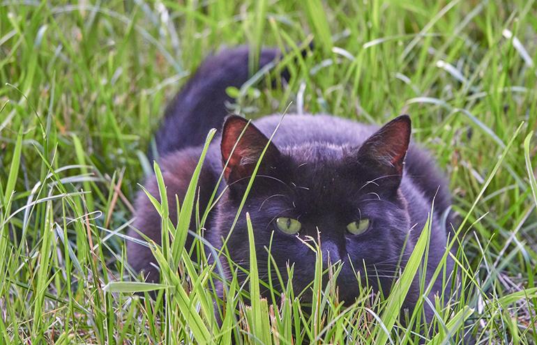 Im Gras lauernde schwarze Katze