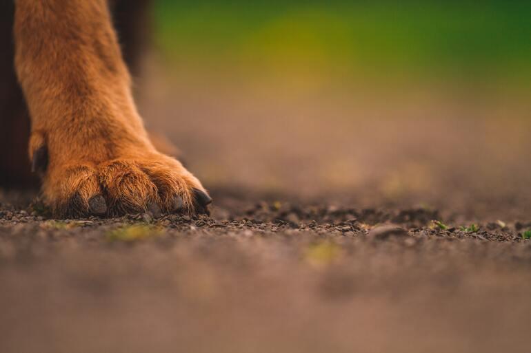 Kurzhaar Chihuahua: Das solltest du wissen