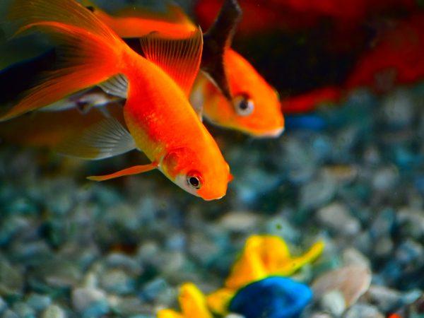 Ein Aquarium einzurichten bedarf einer intensiven Planung, damit am Ende eine traumhafte Unterwasserwelt bei dir Zuhause ihren Platz findet. Bildquelle: Sanjiv Nayak/123rf