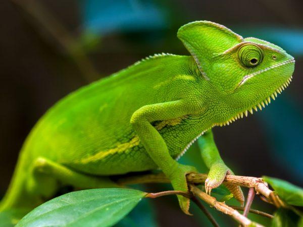 Chamäleons kennen wir aus diversen TV-Sendungen oder aus dem Zoo. Sie sind besonders interessante Tiere, die auch eine hohe Pflege erfordern. Bildquelle: gaschwald/123rf