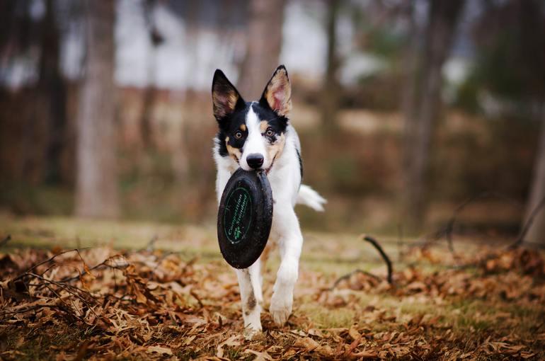 Kurzhaar-Collie: Der richtige Hund für dich?
