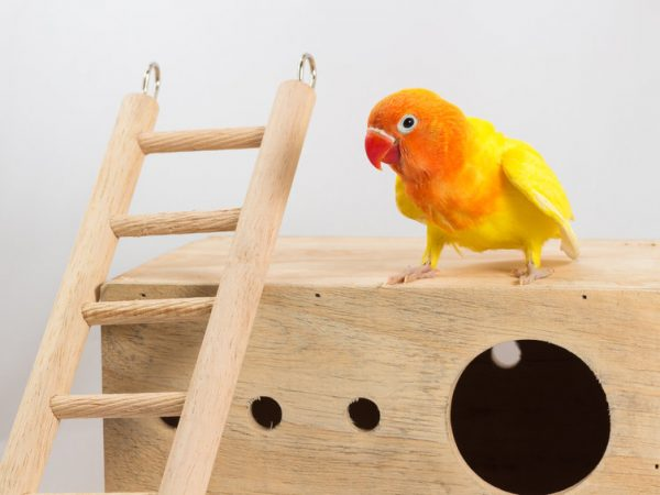 Double Yellow Lovebird in white background