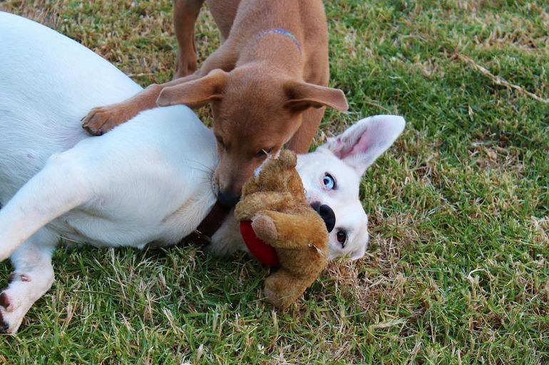 Zwei Hunde spielen mit ihrem Kuscheltier