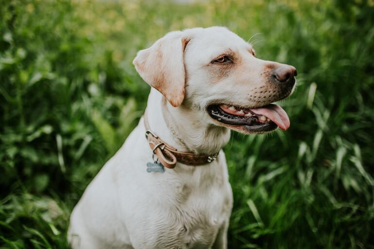 Hund mit ausgestreckter Zunge